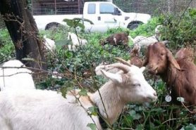 Benicia receives grant to expand use of goats